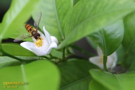 Mandarinenblüte